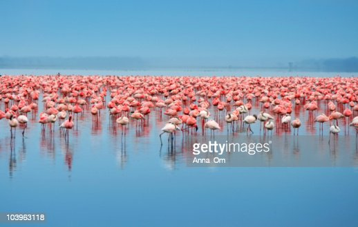 A flock of flamingos in the water : Stock Photo