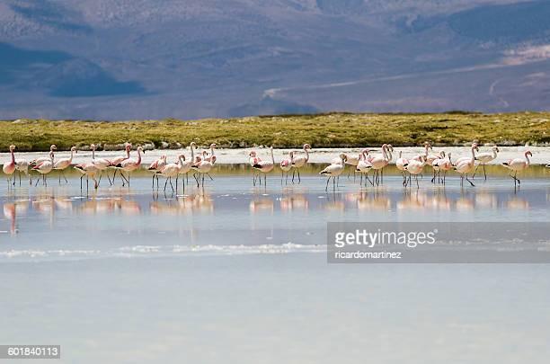 Flock of flamingos, Salar de Surire, Chile