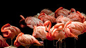 This is a photo of a flock of flamingos sleeping in the mid day sun. They use their bodies as their own pillows, sleeping with one leg to conserve heat loss through the water.