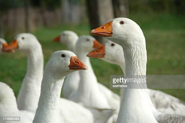 Flock of free range geese