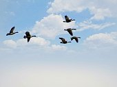Canada Goose Birds flying together through the blue sky and clouds