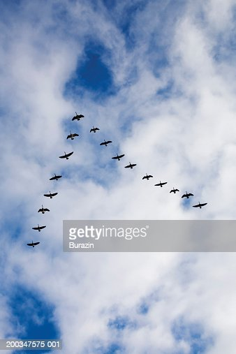 Flock of geese flying in 'V' formation : Stock Photo