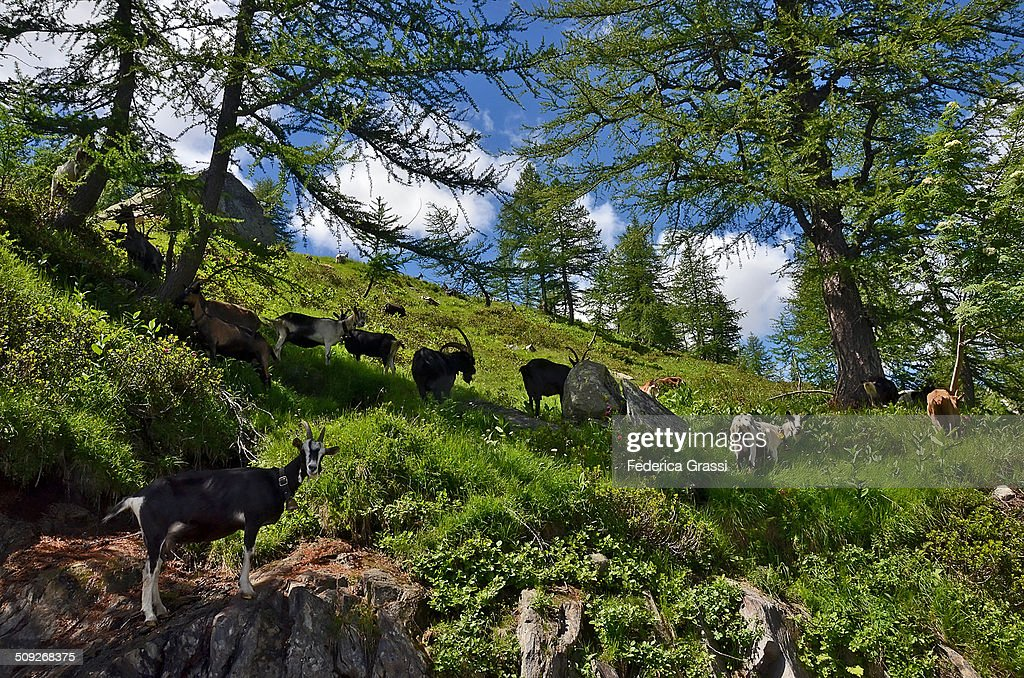A flock of goats on the Alps