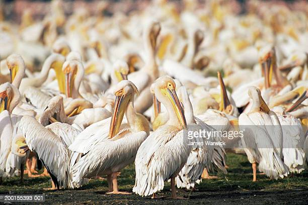 Flock of great white pelicans (Pelecanus onocrotalus)