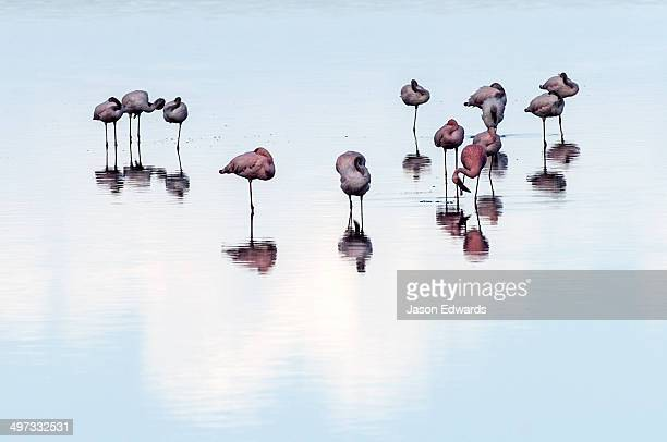 A flock of Lesser Flamingo sleeping reflected in the surface of a calm waterhole with the sunset afterglow.