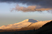 A flock of migrating birds flying over Loch Tay Perthshire with the snowcapped peak of Ben Lawyers in the background The area is renowned as a...
