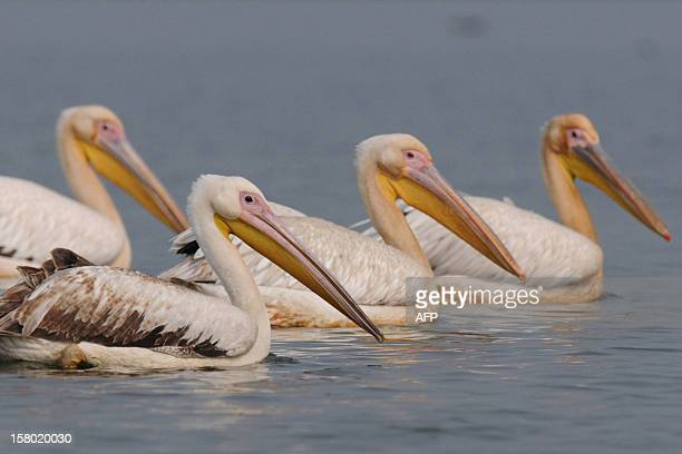 A flock of pelicans are pictured at Deepor Beel bird sanctuary in the outskirts of Guwahati on December 9 2012 The migratory birds are a common sight...