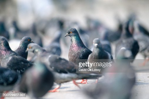 Flock of pigeons walking on ground