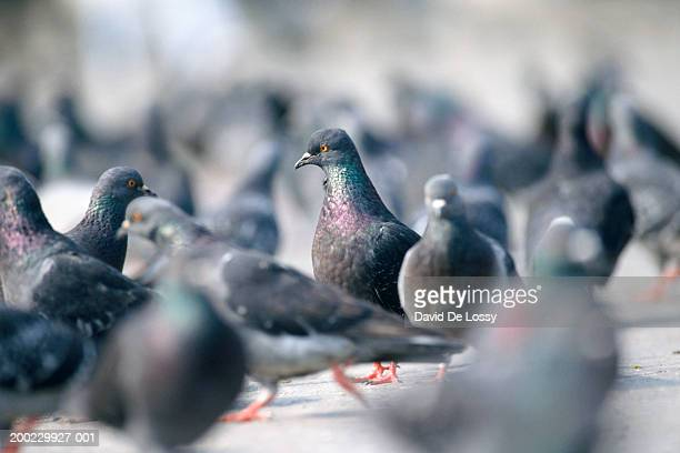 Flock of pigeons walking on ground