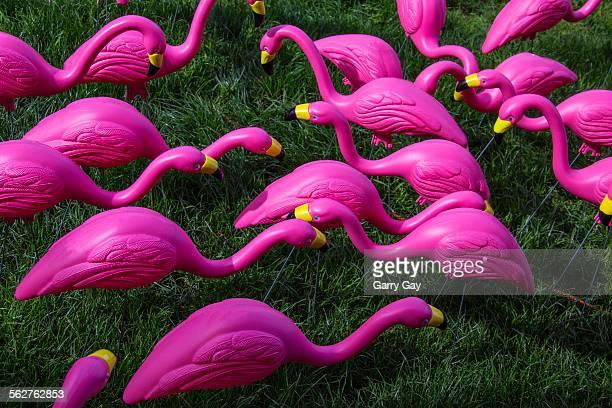 Flock of pink plastic flamingos