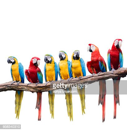 flock of red and blue yellow macaw purching on dry tree branch isolated white background : Stock Photo