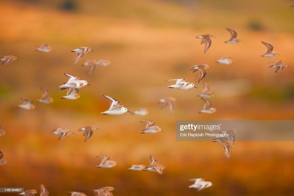 Flock of sanderlings flying through the air : Stock Photo