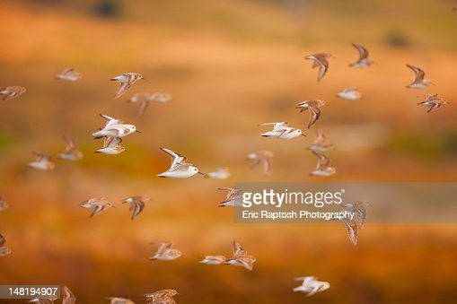 Flock of sanderlings flying through the air : Stock Photo
