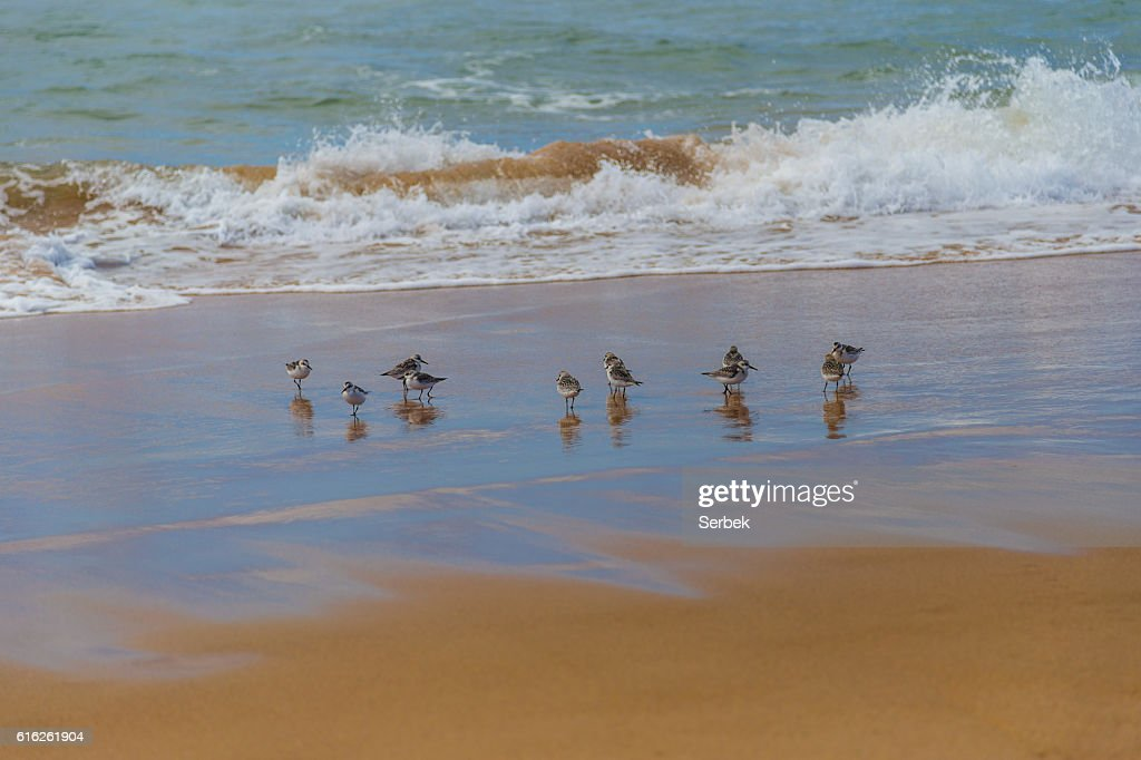 Flock of sandpipers (Scolopacidae) search for food on beach, Portugal : Stock Photo