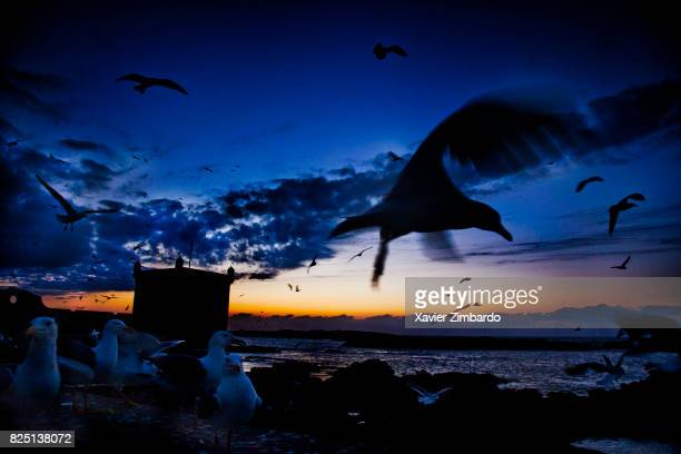 Flock of seagulls flying away at sunset with silhouette of Skala Genoesebuilt citadel tower on February 17 2009 in the harbour of Essaouira Morocco