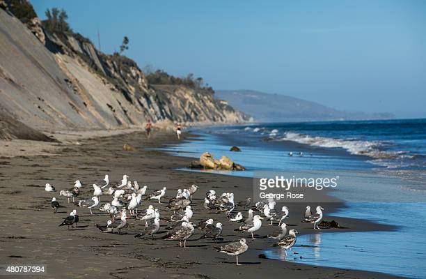 A flock of seagulls gather at surf's edge at Gaviota State Beach on June 20 near Santa Barbara California Because of its close proximity to Southern...
