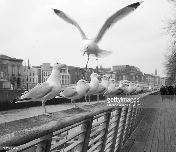 Flock Of Seagulls Perching On Railing