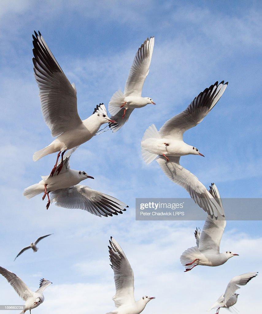 A flock of seagulls : Stock Photo