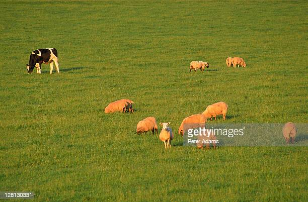Flock of sheep and a cow