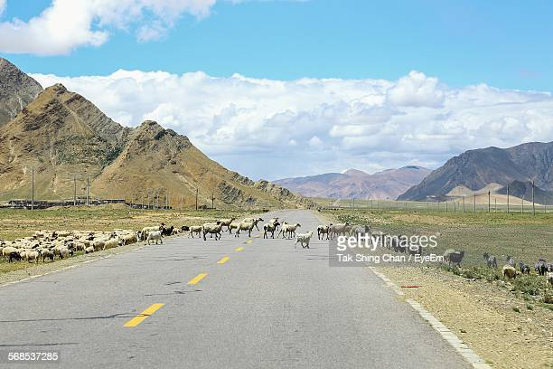 Flock Of Sheep Crossing Road By Mountains Against Sky