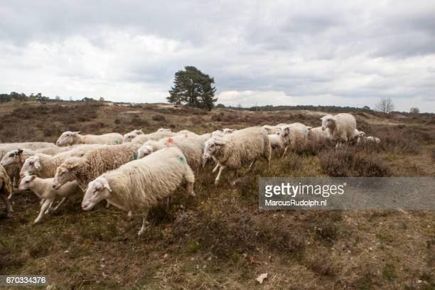 FLock of sheep crossing the heather