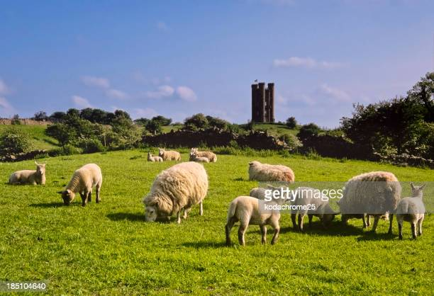 Flock of sheep eating grass with castle tower in the back