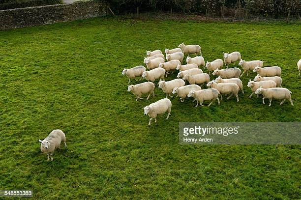 Flock of sheep following single sheep