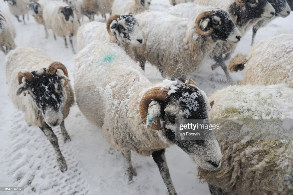 A flock of sheep gather for their morning feed at Bleathgill Farm in the hamlet of Barras following heavy snow on March 27, 2013 near Kirkby Stephen, Cumbria, England. Stuart Buckle, 23, runs Bleathgill Farm with his father Wilf and as heavy snow continues to fall, extra effort is needed to look after and protect their Swaledale sheep from the cold. Across the UK, farmers are battling to save livestock after heavy snow and freezing temperatures has left thousands of sheep and cattle stuck in the fields with no access to food and fresh water.