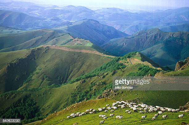 A flock of sheep grazes along the green slopes of Col d'Iraty in France's Basque Country