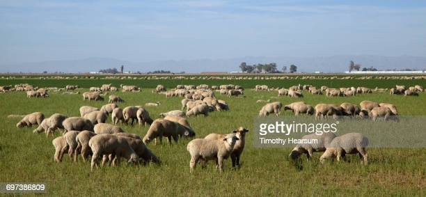 Flock of sheep grazing in green pasture