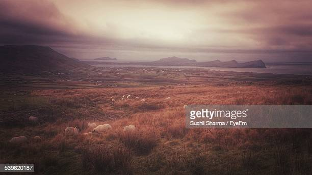 Flock Of Sheep Grazing On Grassy Field Against Cloudy Sky