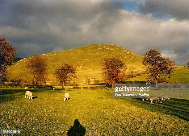 Flock Of Sheep Grazing On Grassy Field By Hill Against Cloudy Sky