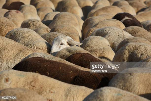 A flock of sheep in Morón de Almazán north of Spain