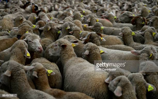 A flock of sheep is led by the center of Madrid on October 22 2017 Shepherds leading about 1600 sheep arrived to the Spanish capital called by...