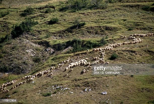 Flock of sheep near Pescasseroli Abruzzo Lazio and Molise National Park Abruzzo Italy