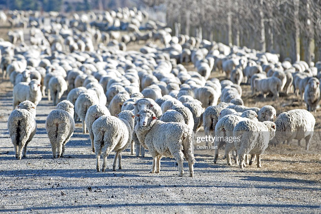 Flock of Sheep New Zealand : Stock Photo