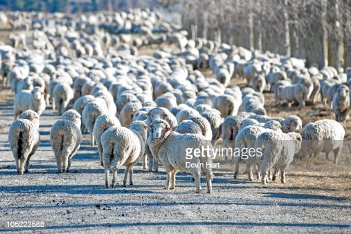 Flock of Sheep New Zealand : Stock Photo