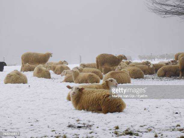 Flock Of Sheep On Snowy Field Against Clear Sky During Winter