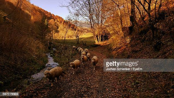 Flock Of Sheep On Walking On Footpath During Winter