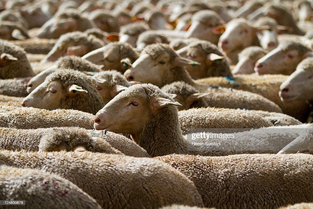 Flock of sheep : Stock Photo