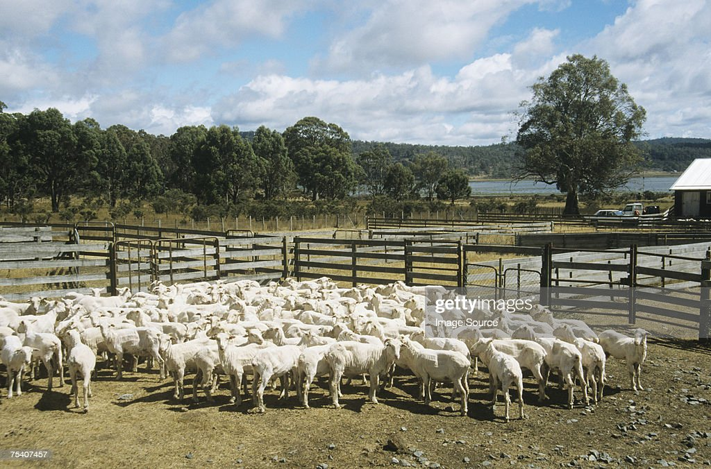 Flock of sheep : Stock Photo