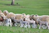 21 September 2017, Tasmania, Australia. Picture of a flock of sheep was shot at Tasmania.