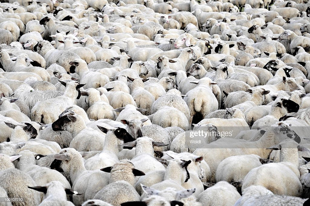 Flock of sheep standing : Stock Photo