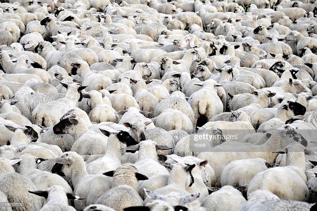 Flock of sheep standing