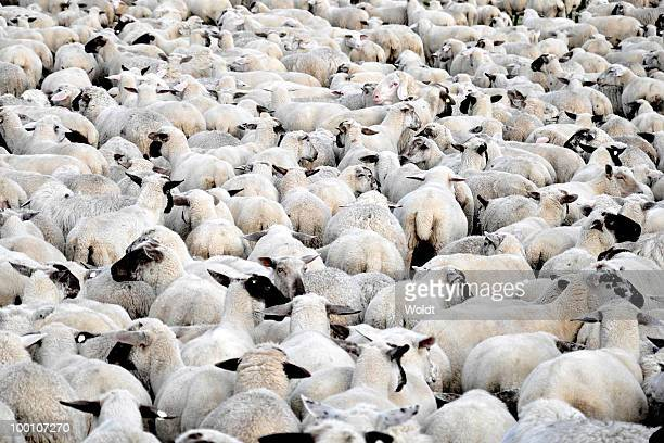 Flock of sheep standing
