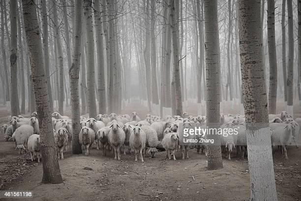 A flock of sheep walk in the haze in a Beijing suburb on January 15 2015 in Beijing China The PM25 Air Quality Index reached more than 500 in Beijing...