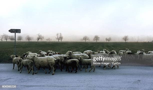 Flock Of Sheep Walking On Road During Foggy Weather