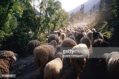 Flock of sheep with a shepherd in Kashmir in India