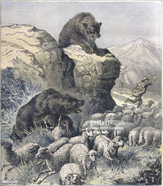 Flock of sheeps destroyed by the bears in the Pyrenees Le Petit Journal October 1891