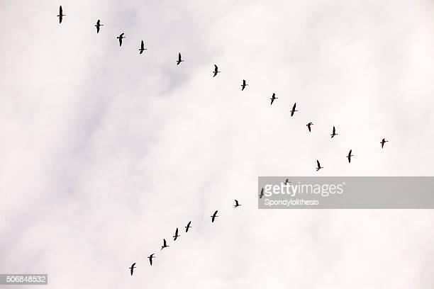 Flock of Kanadakranichen, Kalifornien, USA